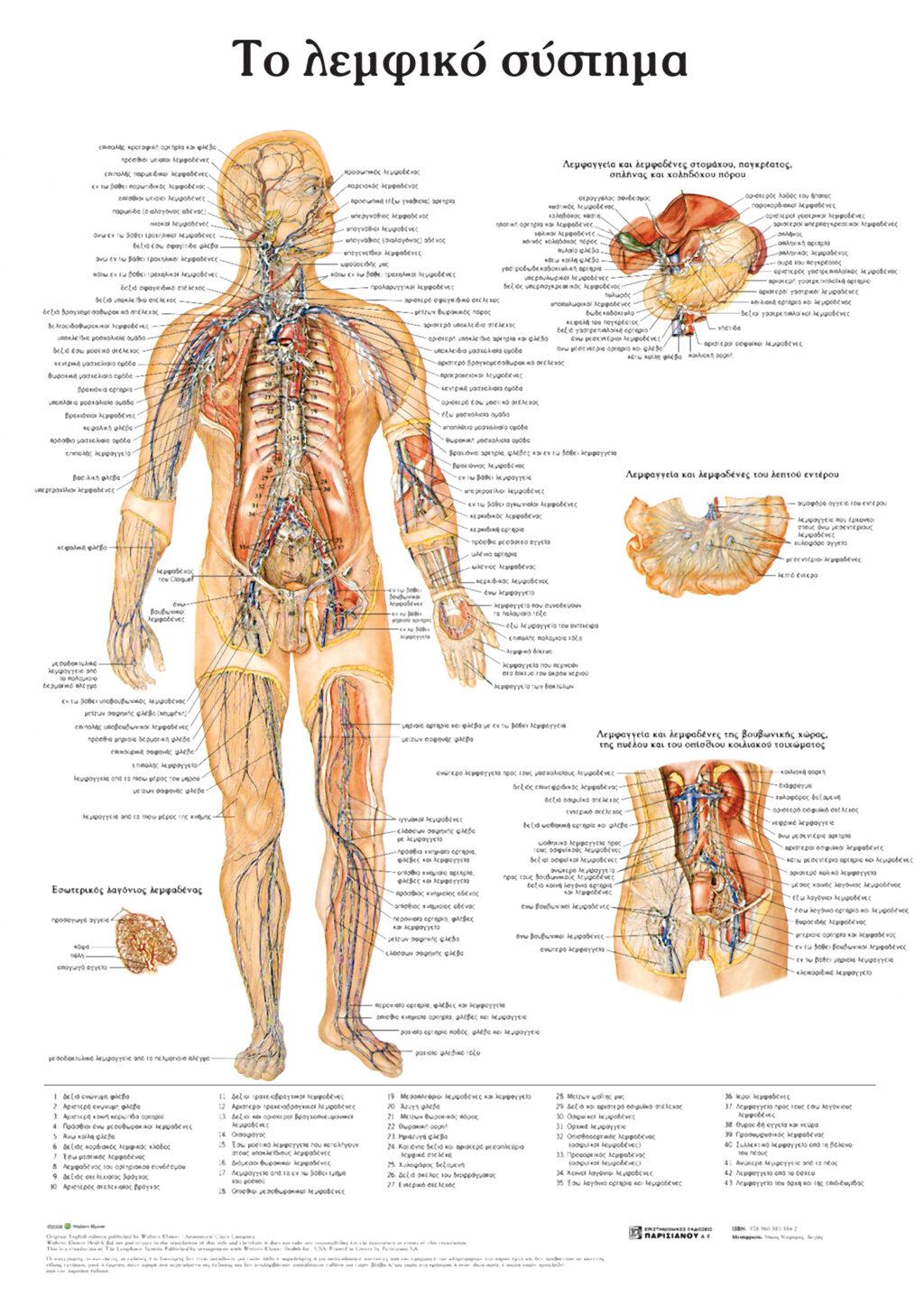 anatomikos-xarths-to-lemfiko-systhma